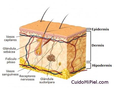 Estructura de la Piel - Capas - Anatomia